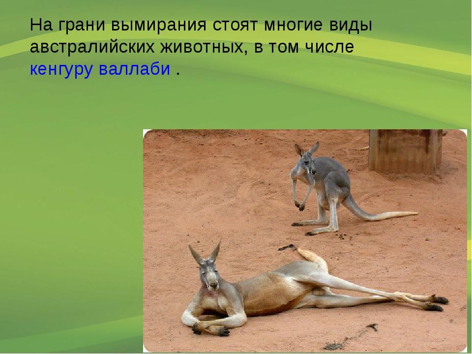 На грани вымирания стоят многие виды австралийских животных, в том числе кенг...