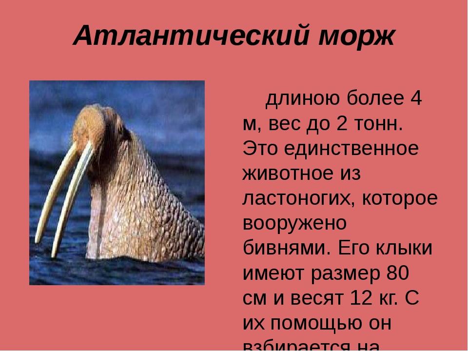 Атлантический морж длиною более 4 м, вес до 2 тонн. Это единственное животное...
