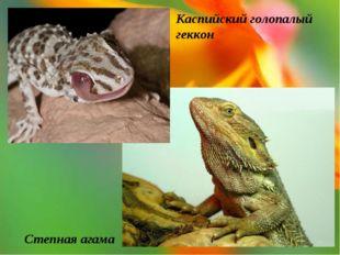 Степная агама Каспийский голопалый геккон