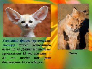 Ушастый фенёк (пустынная лисица) Масса животного всего 1,5 кг. Длина его тела