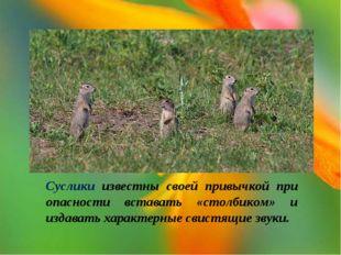 Суслики известны своей привычкой при опасности вставать «столбиком» и издават