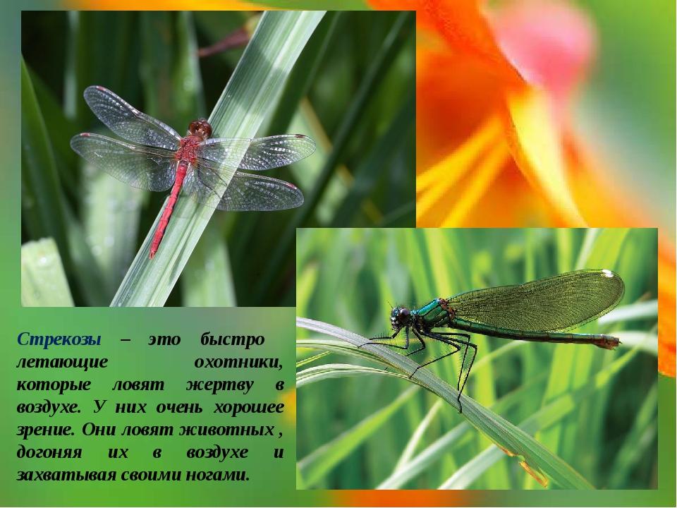 Стрекозы – это быстро летающие охотники, которые ловят жертву в воздухе. У ни...