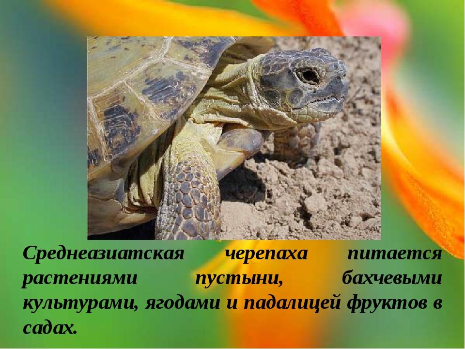 Среднеазиатская черепаха питается растениями пустыни, бахчевыми культурами, я...