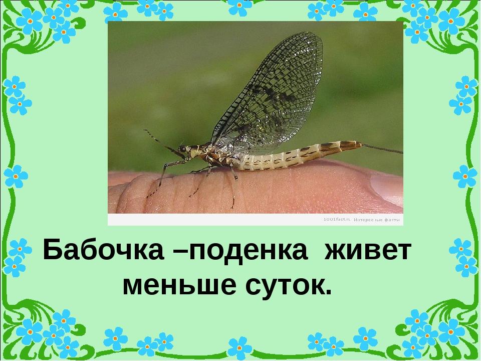 Бабочка –поденка живет меньше суток.