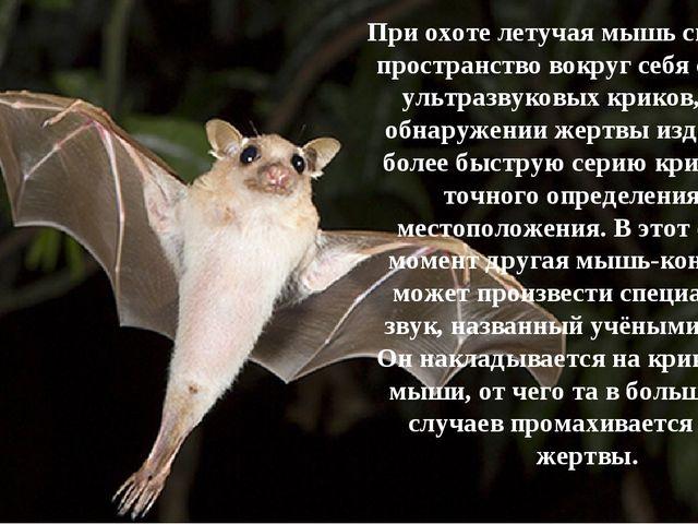 При охоте летучая мышь сканирует пространство вокруг себя сериями ультразвуко...