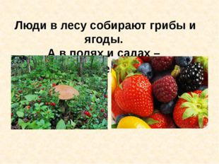 Люди в лесу собирают грибы и ягоды. А в полях и садах – урожай овощей и фрук