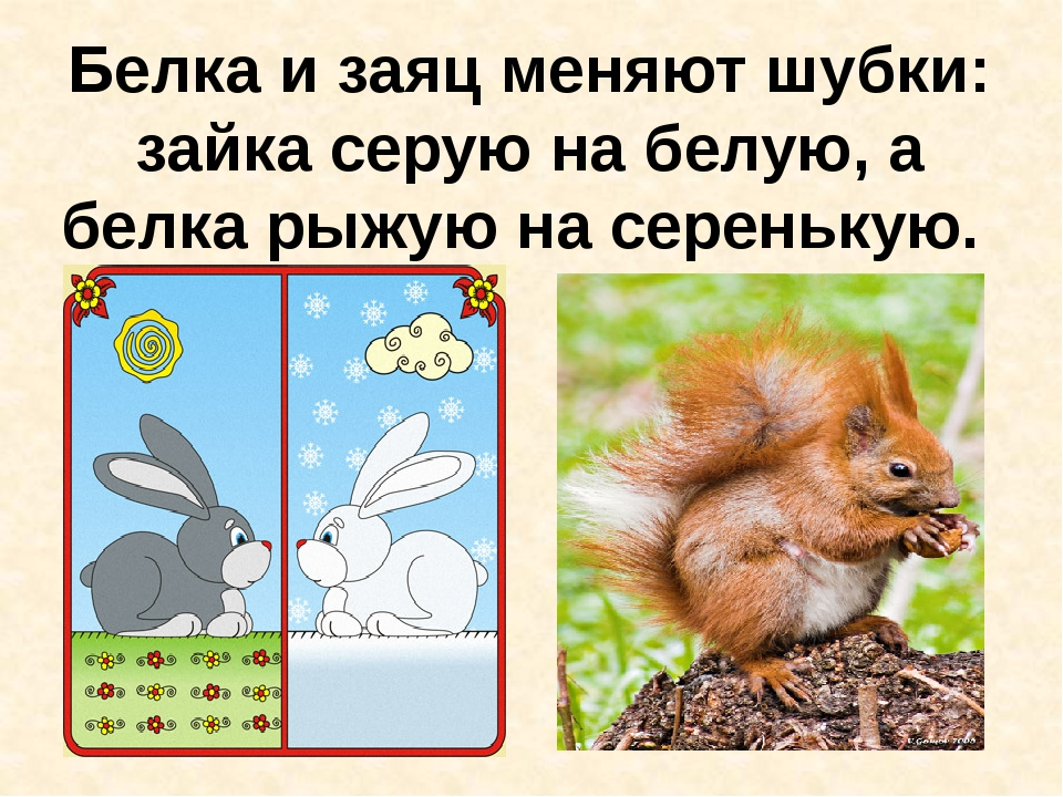 Белка и заяц меняют шубки: зайка серую на белую, а белка рыжую на серенькую.