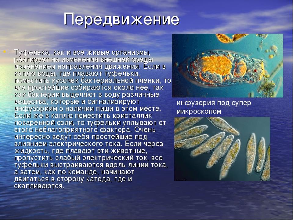 Передвижение Туфелька, как и все живые организмы, реагирует на изменения вне...
