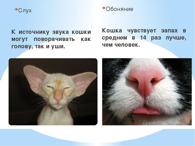 Слух К источнику звука кошки могут поворачивать как голову, так и уши. Обонян...