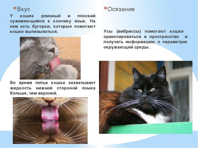 Вкус У кошек длинный и плоский суживающийся к кончику язык. На нем есть бугор...