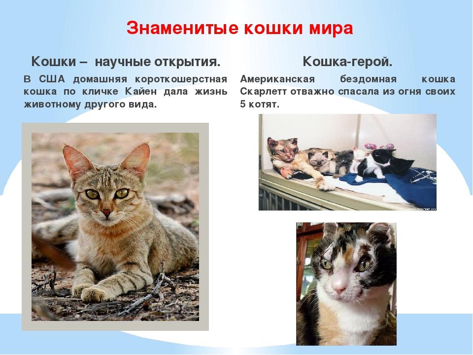 Знаменитые кошки мира Кошки – научные открытия. В США домашняя короткошерстна...