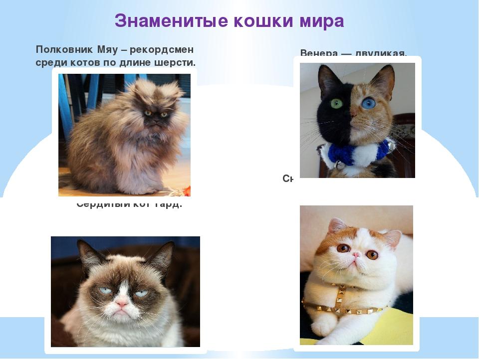 Знаменитые кошки мира Полковник Мяу – рекордсмен среди котов по длине шерсти....