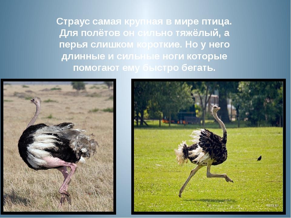Страус самая крупная в мире птица. Для полётов он сильно тяжёлый, а перья сли...