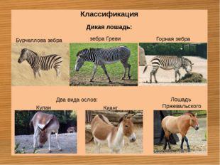 Классификация Дикая лошадь: Бурчеллова зебра зебра Греви Горная зебра Кулан К