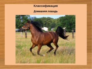 Классификация Домашняя лошадь