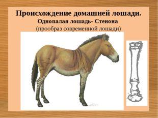 Однопалая лошадь- Стенона (прообраз современной лошади) Происхождение домашне