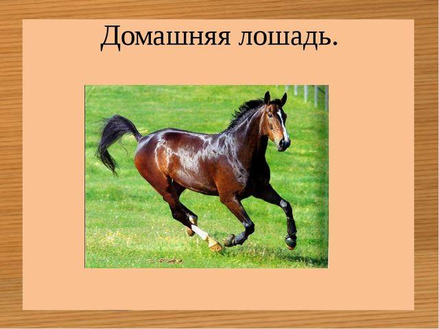 Домашняя лошадь.