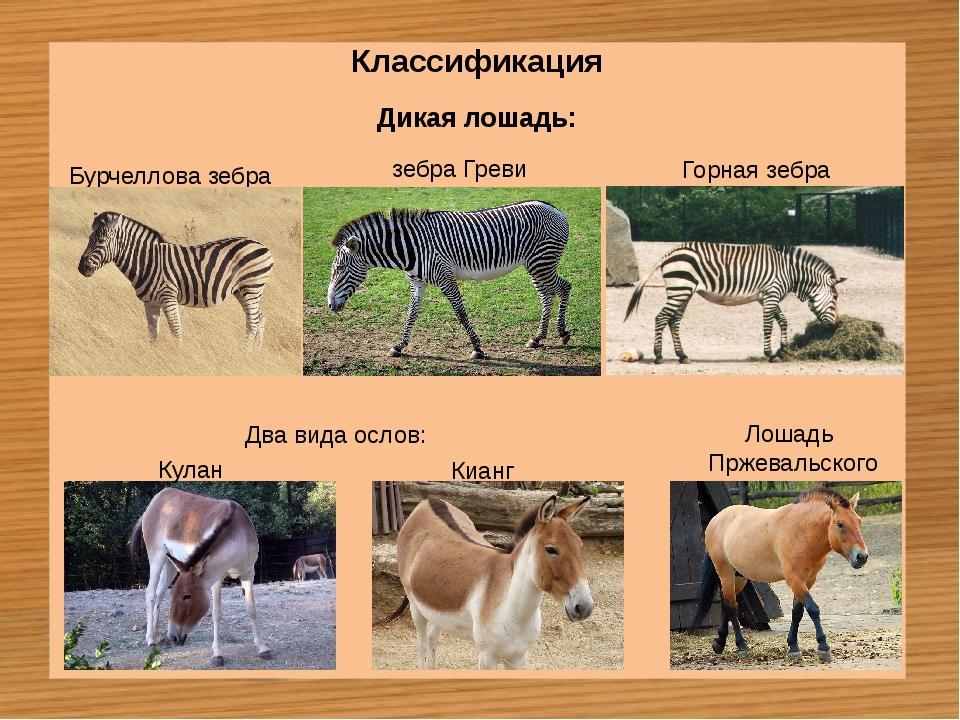 Классификация Дикая лошадь: Бурчеллова зебра зебра Греви Горная зебра Кулан К...