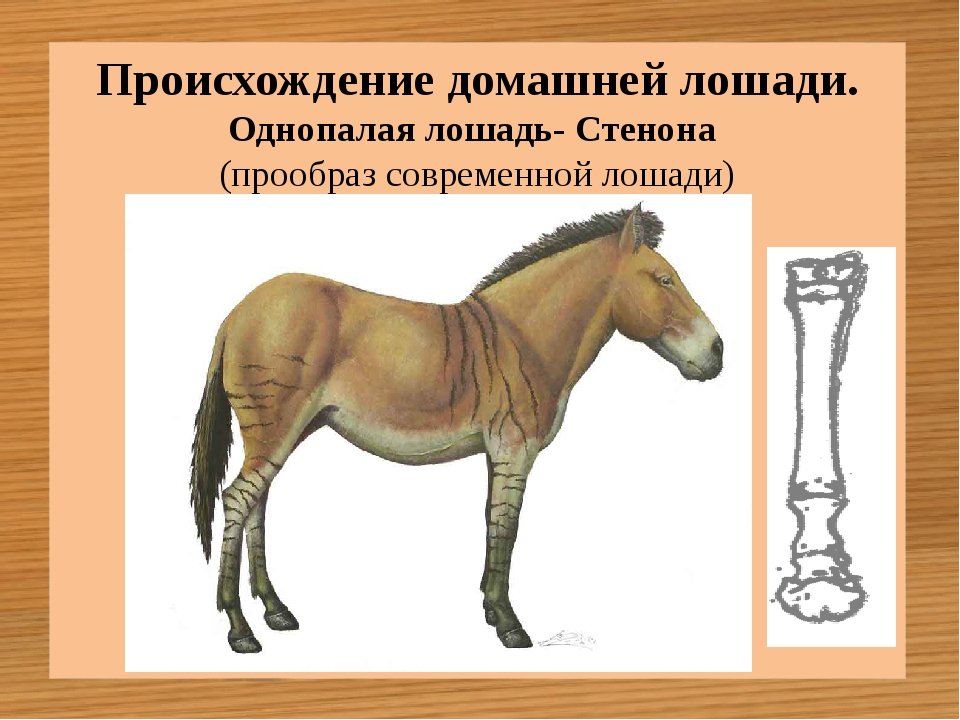 Однопалая лошадь- Стенона (прообраз современной лошади) Происхождение домашне...