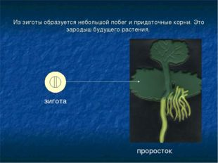 Из зиготы образуется небольшой побег и придаточные корни. Это зародыш будущег