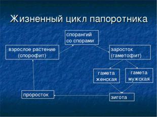 Жизненный цикл папоротника взрослое растение (спорофит) спорангий со спорами