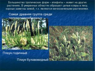 Большинство тропических форм – эпифиты – живет на других растениях. В умеренн