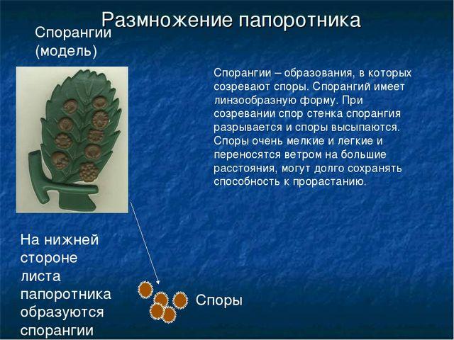 Размножение папоротника На нижней стороне листа папоротника образуются споран...