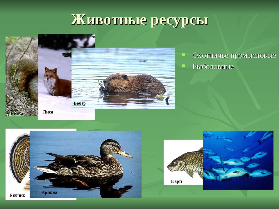 Животные ресурсы Охотничье промысловые Рыболовные Белка Лиса Бобер Рябчик Кря...