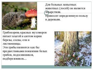 Для больных копытных животных (лосей) он является лекарством. Приносит опреде