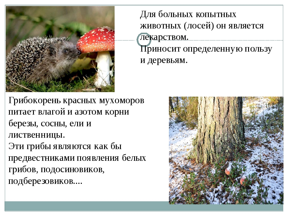 Для больных копытных животных (лосей) он является лекарством. Приносит опреде...