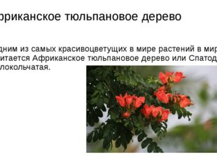 Африканское тюльпановое дерево Одним из самых красивоцветущих в мире растений