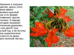Собранные в пышные соцветия, цветы этого дерева имеют оранжево-красный окрас