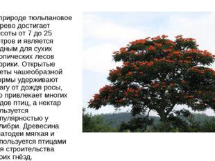 В природе тюльпановое дерево достигает высоты от 7 до 25 метров и является ро