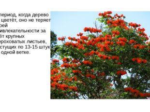 В период, когда дерево не цветёт, оно не теряет своей привлекательности за сч