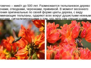 Долговечно – живёт до 500 лет. Размножается тюльпановое дерево семенами, отво