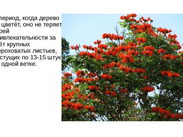 В период, когда дерево не цветёт, оно не теряет своей привлекательности за сч...