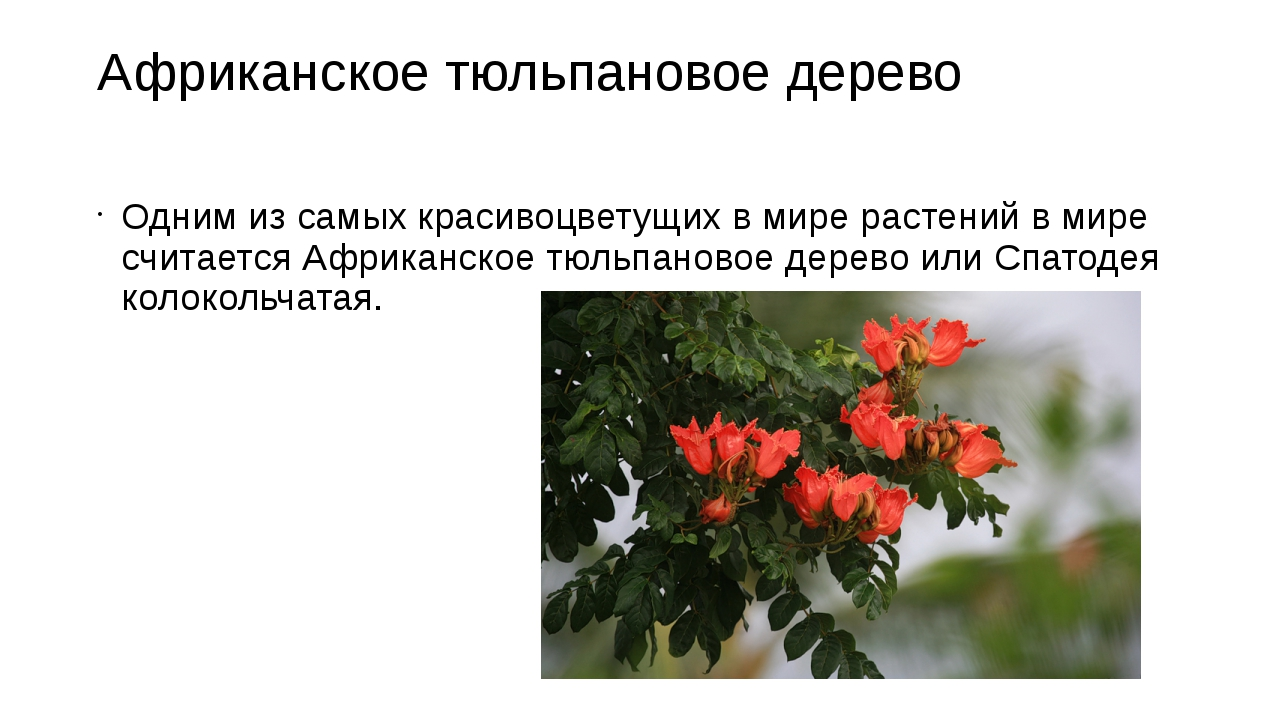 Африканское тюльпановое дерево Одним из самых красивоцветущих в мире растений...
