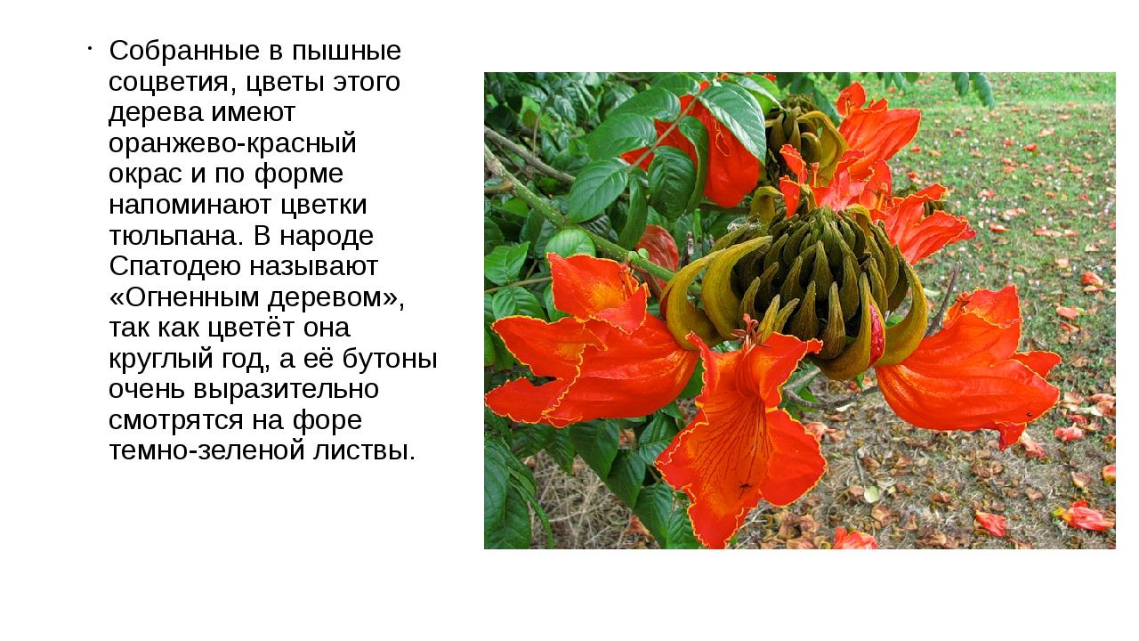Собранные в пышные соцветия, цветы этого дерева имеют оранжево-красный окрас...