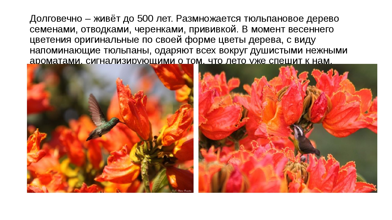 Долговечно – живёт до 500 лет. Размножается тюльпановое дерево семенами, отво...