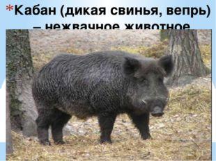 Кабан (дикая свинья, вепрь) – нежвачное животное
