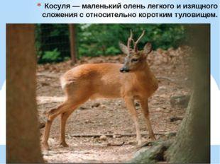 Косуля — маленький олень легкого и изящного сложения с относительно коротким