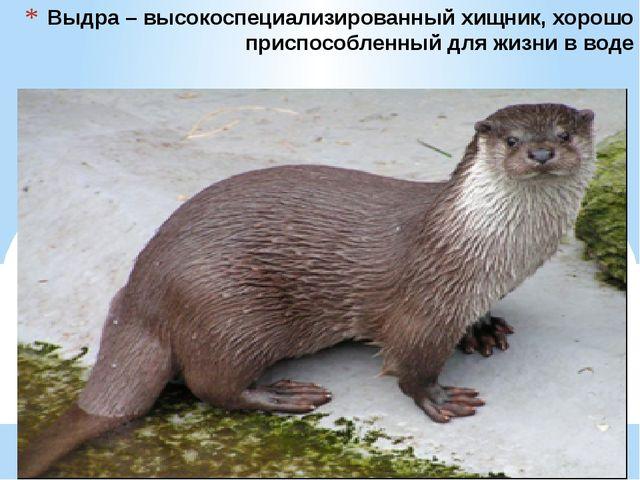 Выдра – высокоспециализированный хищник, хорошо приспособленный для жизни в в...