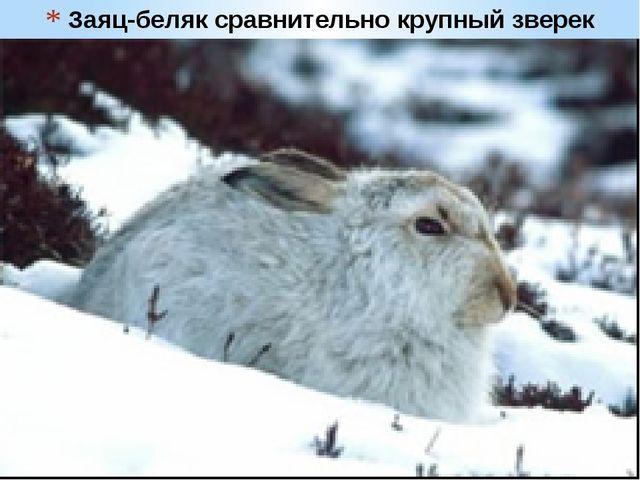 Заяц-беляк сравнительно крупный зверек