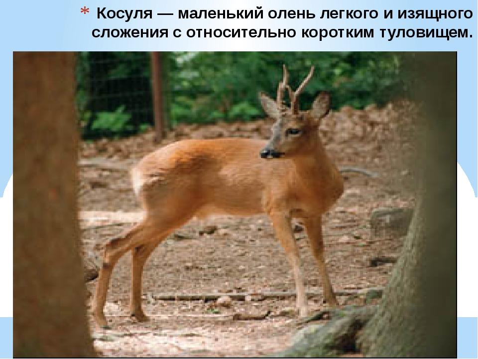 Косуля — маленький олень легкого и изящного сложения с относительно коротким...