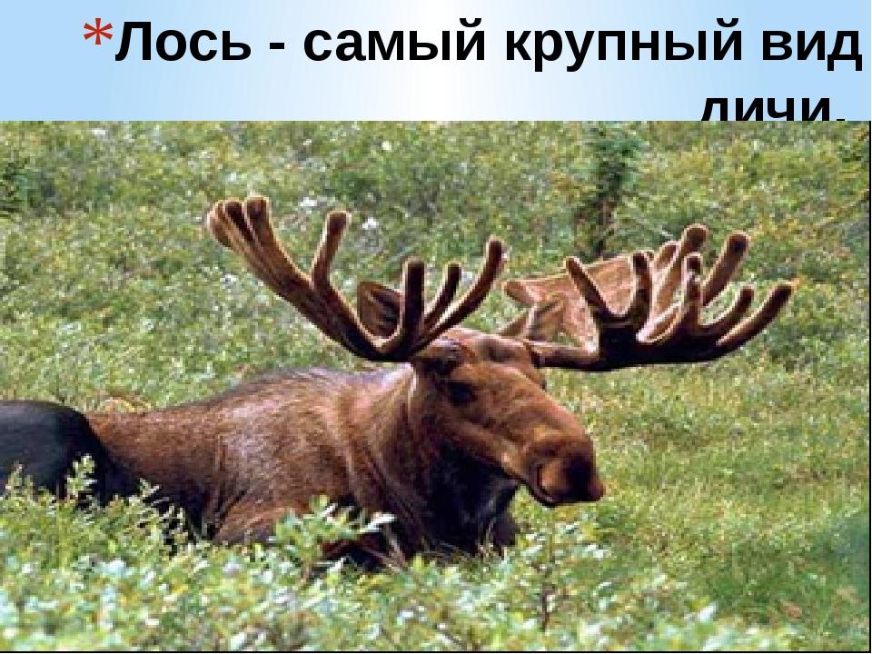 Лось - самый крупный вид дичи.