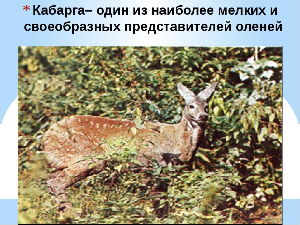 Кабарга– один из наиболее мелких и своеобразных представителей оленей