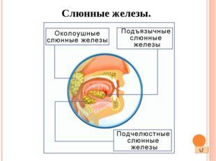 Язык – подвижный мышечный орган, покрытый слизистой оболочкой, богато снабже