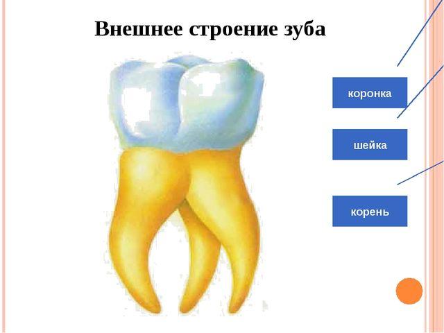 Внутреннее строение зуба. Эмаль Десна Дентин Пульпа