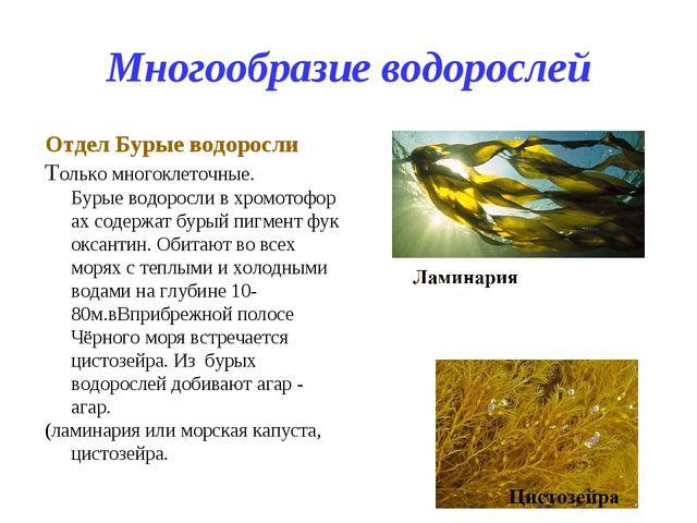 Многообразие водорослей Отдел Бурые водоросли Только многоклеточные. Бурыево...