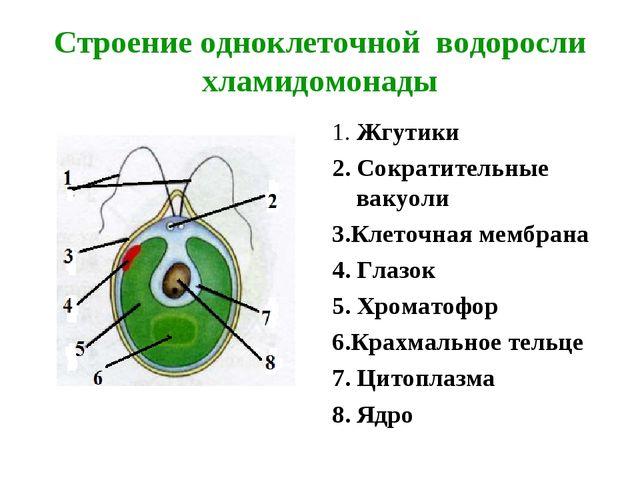 Строение одноклеточной водоросли хламидомонады 1. Жгутики 2. Сократительные в...